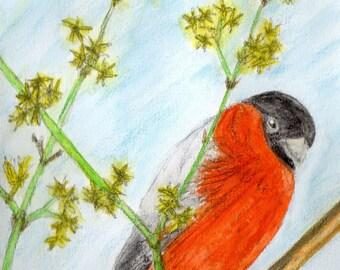 Bullfinch / Bullfinch watercolor