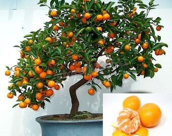 Mandarin Bonsai Tree Citrus, fresh seeds! edible - sweet mandarin !!!