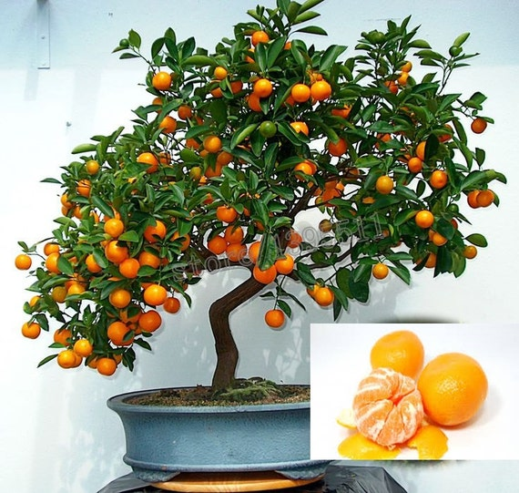 how to grow mandarin tree from seed