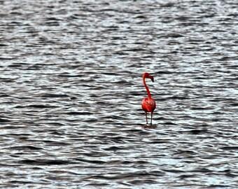Photographic Metallic Prints: Wild Flamingo