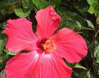 Hibiscus rosa-sinensis 'Painted Lady' ~ Live Starter Plant