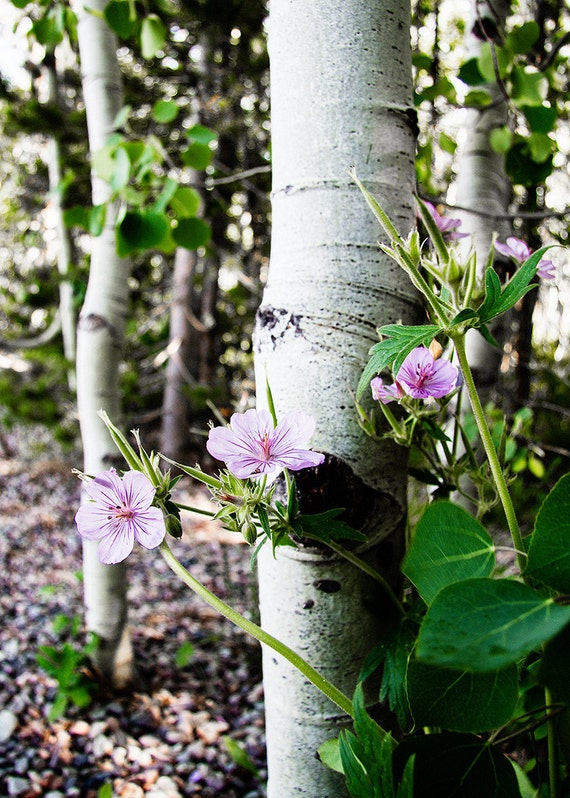 No. 018 | Aspen tree purple flower art wall photo print 8x10 11x14 16x20 gift present holiday christmas best top popular selling seller sale