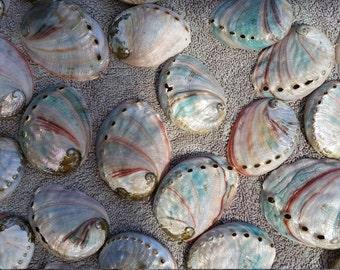 "Raw (50) Unpolished Red Abalone shells- Size 1-4"""