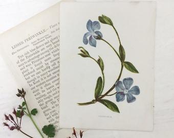 1883 Anne Pratt Wild Flower Botanical Print Book Plate Lesser Periwinkle