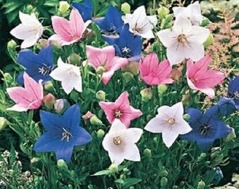 40+ Mix Balloon Flower Platycodon / Perennial Flower Seeds