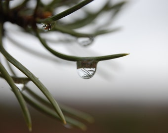 G49 - Rain Drop on Pine Needle