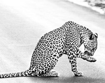 Black-and-White Leopard