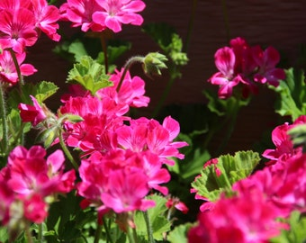 Geranium Photograph. Pink Geranium. Flower for Printing. Prints. Digital Download for Personal Use.