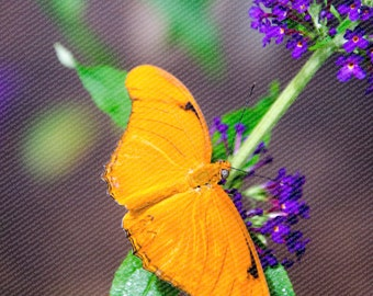 Dryas Iulia orange butterfly