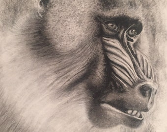 Baboon Charcoal drawing