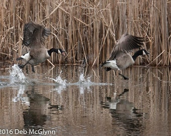 Black, White and Brown Fighting Geese Walk on Water, Instant Digital Download, Digital Photography