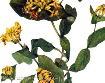 Honeysuckle Flowers Lanicera glaucescen Vintage 1955 Botanical Lithograph Art  Print To Frame 358