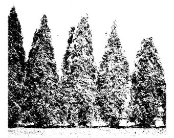 Snowy Arbors I, Print. Winter Scene, Black & White, Serene, Evergreen Muse, Free US Shipping.