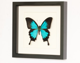 Blue Mountain Framed Butterfly Archival Museum Display