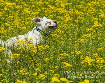 The Joy of Being a Dog, Large original photograph of a white boxer dog running joyfully through a field of yellow flowers