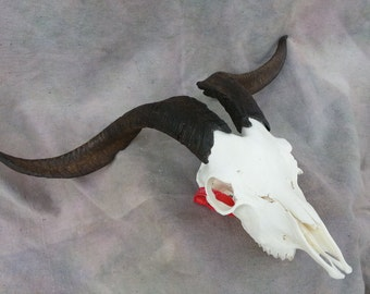 Domestic Goat Skull - Male- Collector Quallity- Lot No. 1500511R