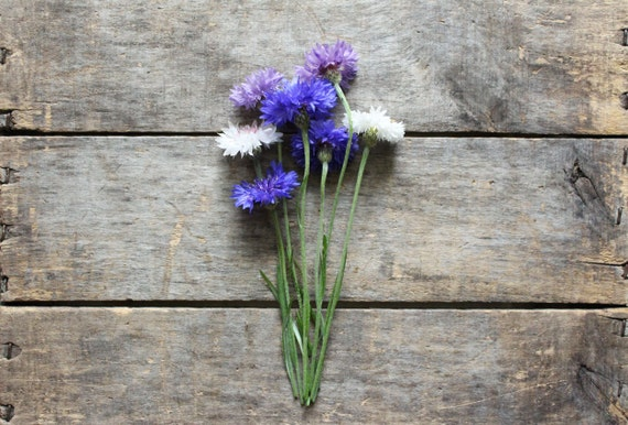 Bachelor Button Seed Mixture Cornflower, organic heirloom seeds, from our farm, spring seeds, organic gardening, spring planting, flowers
