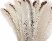 Wild Turkey Feathers, 4 Pieces - ROYAL PALM Wild Turkey Rounds Wing Quill Feathers : 3903