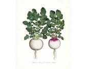 Italian Botanical Giclee Art Print-Two Radishes