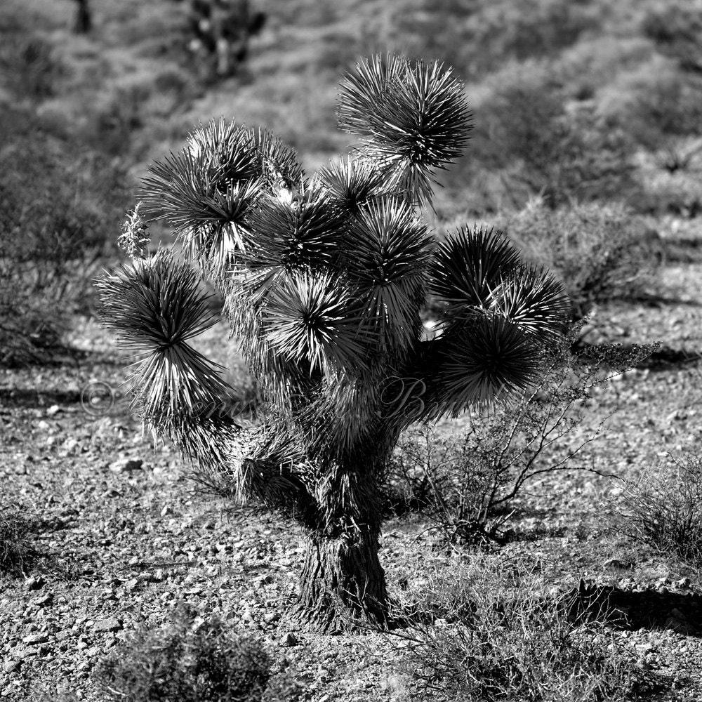 Desert Wall Art Joshua Tree Fine Art Photograph Black And