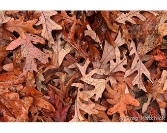Fine Art Color Nature Photography of Fallen Oak Leaves in Autumn in Missouri