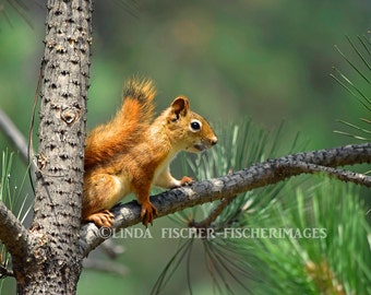 Pine Squirrel Sitting on Pine Tree Branch Wall Art Home Decor Nature Photo Digital Download Fine Art Photography Linda Fischer Fischerimages