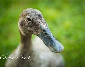 Indian Runner Duck Female, Fowl, Barnyard Animals, Farm Photography, Farmhouse Decor