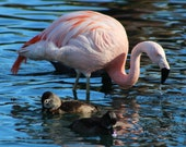 Bright Pink Flamingo at the Marriott in Palm Desert Nature Photograph  Wall Art Wall Hanging Home Deco Gorgeous Flamingo Pink