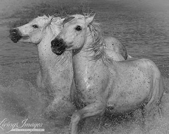 Two White Horses Run - Fine Art Horse Photography - Horse - Black and White Fine Art Print