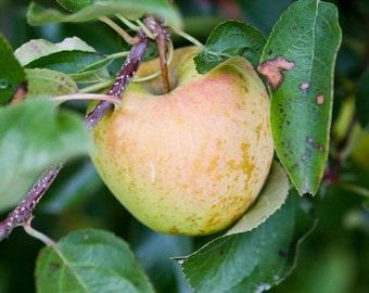 Apple Photography, Kitchen Photography, Food Fine Art, Cafe Decor, Green Wall Art, Fruit Photo, Apple Orchard Print, Apple