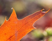 Orange leaf, Autumn Impressions, Close up, Macro photography, Fall sunshine, Bright Rustic woodland
