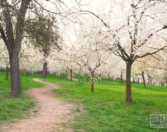 White blooming trees, Fruit orchard at Petrin hill, Nature photography, Landscape print, Cherry blossom art, Prague photography