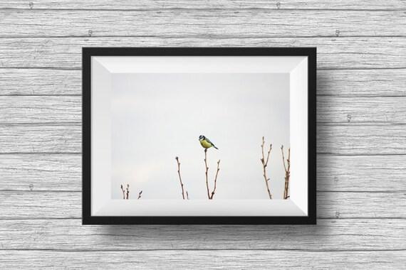 Blue tit bird photography, minimalist art print, animal photography, fine art nature print, nursery print, wall art, horizontal wall art