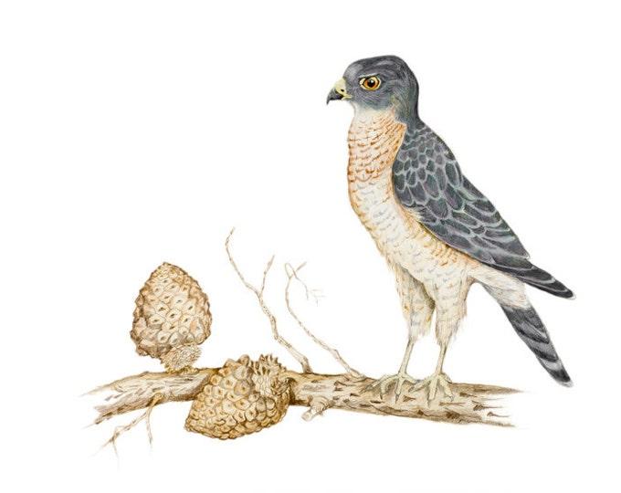 Eurasian Sparrowhawk, LIMITED EDITION, Accipiter nisus, Sparrowhawk, Sperber, Hunter Bird, Bird of Prey, Epic Bird, Hunting Bird, Sperwer