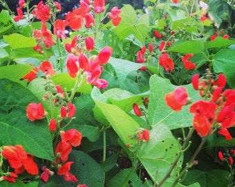 Scarlet Runner Bean, Heirloom Pole Beans, Scarlet Emperor Bean, Phaseolus coccineus Great For Hummingbird Gardens and Bee Gardens