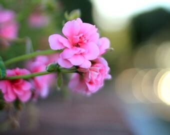 Pink Geraniums - Flower Photo Print - Size 8x10, 5x7, or 4x6