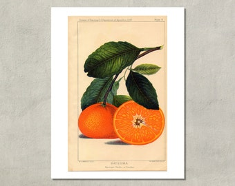 Satsuma Oranges Botanical Print, 1887 - 8.5 x 11 Print -  also available in 11x14 and 13x19 - see listing details