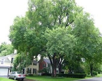 50 American Elm Tree Seeds, Ulmus americana