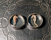 Kissy Face Double Pregnant Seahorse Preserved Specimen PAIR Resin Taxidermy Double Flare Steel Tunnel Gauge Plugs 24mm