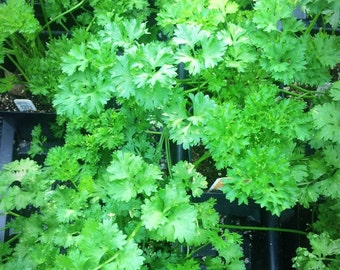 Flat Leaf Italian Parsley! Culinary Staple! Herb Plants