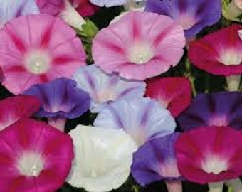 MIX MORNING GLORY seeds 25 Fresh seed ready to plant in your garden
