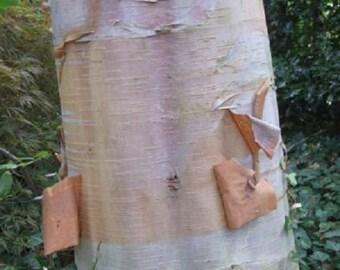 Betula albo Sinensis, Chinese Paper Birch Tree.