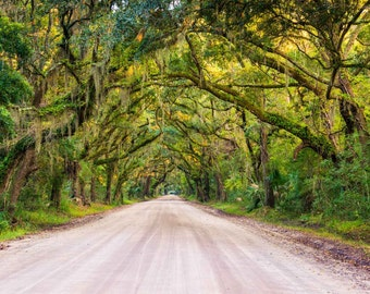 Oak trees along the dirt road to Botany Bay Plantation on Edisto Island, South Carolina. | Photo Print, Stretched Canvas, or Metal Print.