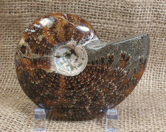 Ammonite Fossil (repaired) - 3.6 inches - Item 73871
