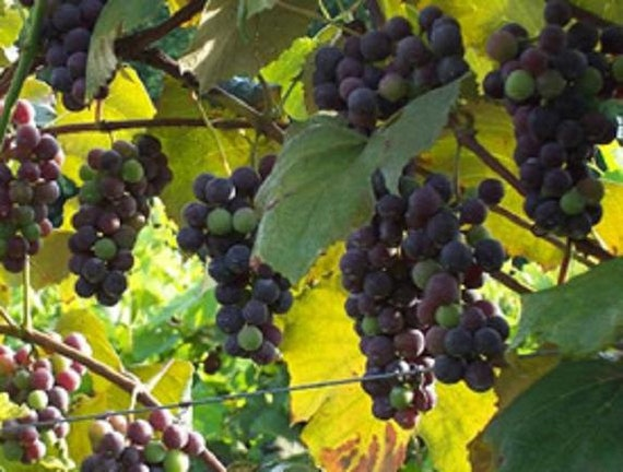 how to grow grape vine from cuttings