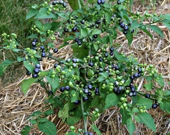 Garden Huckleberry Plant