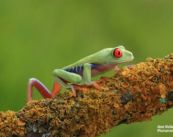 Red eyed tree frog, strolling, walking along branch, large print