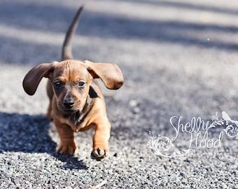 Puppy Print - Mini Dachshund Photography Print - Fine Art Photo Print - Wall Hanging - Animal Decor - Living Room Decor - Dog Decor