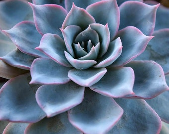 Succulent Portrait Photography - Succulents, Cactus, Echiveria, Pastel, Blue, Powder Blue, Minimalist, Leaves, Home Decor, Wall Art, Fine Ar