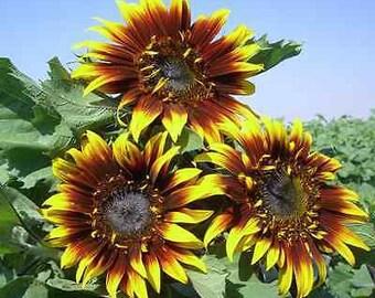 Sunflower Seeds - THE JOKER - Helianthus Annuus - Unique Blooms - 10 Seeds